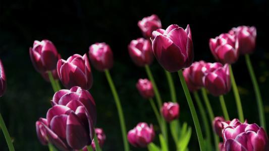 春天粉色郁金香