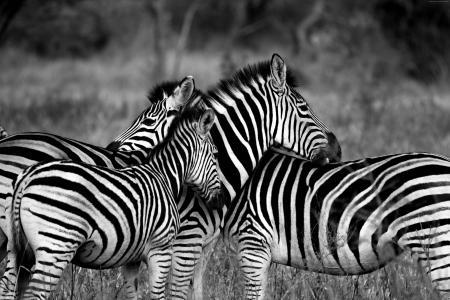 Zebra, Black & White (horizontal)