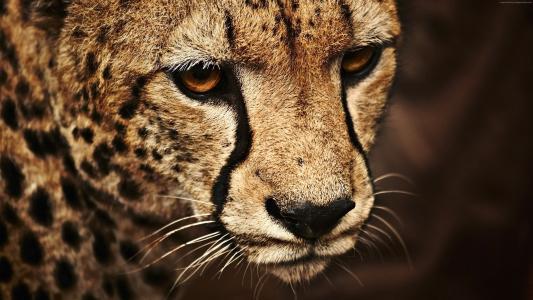 猎豹,看,可爱的动物(水平)