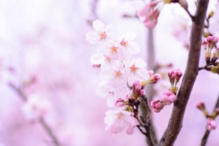 樱花绽放的那一刻