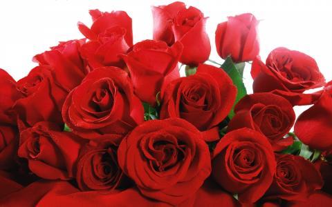 红色情人节玫瑰