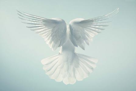 鸽子,翅膀,高清