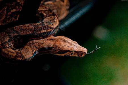 蛇,特写,灰色,棕色,皮肤,动物,爬行动物,绿色,性质(水平)