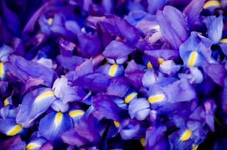 虹膜,5k,4k壁纸,宏,花,紫色(水平)