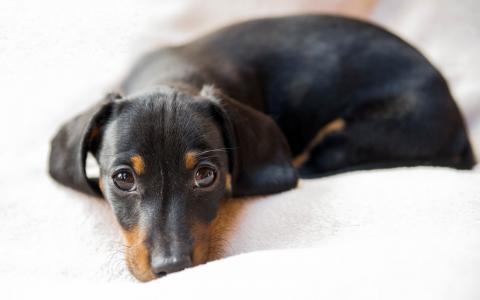 腊肠狗,德国,黑色,高清的象征