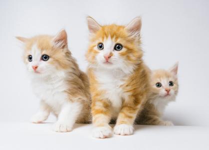 三只呆萌可爱的金色小奶猫