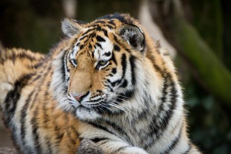 老虎,动物园,高清,4K