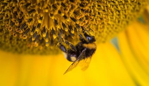 蜜蜂,向日葵,蜂花粉,4 k