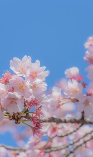 最美不过樱花季