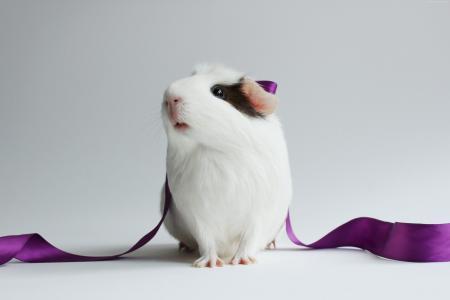 仓鼠,可爱的仓鼠,白,特写镜头,紫色,丝带,白色背景(水平)