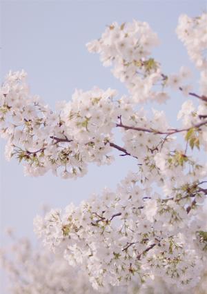 春季樱花盛开