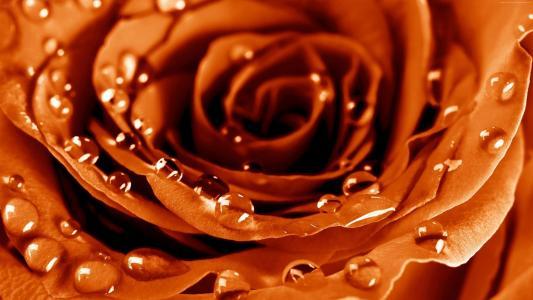 玫瑰,4k,高清壁纸,滴,露水,花(水平)