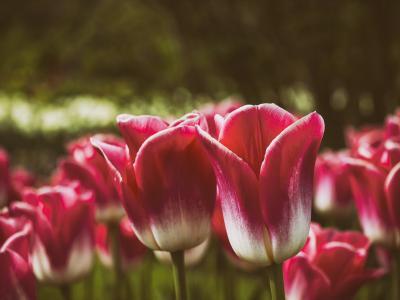 郁金香花,红色,开花,高清