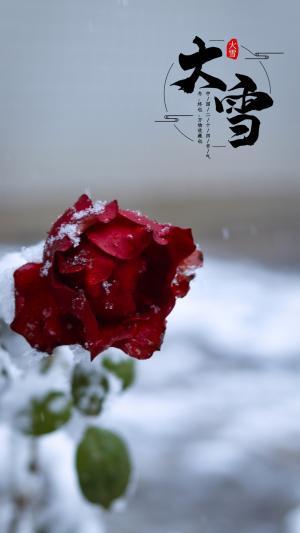 二十四节气之大雪玫瑰