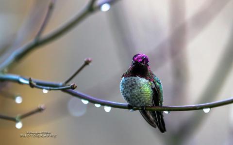 安娜的蜂鸟