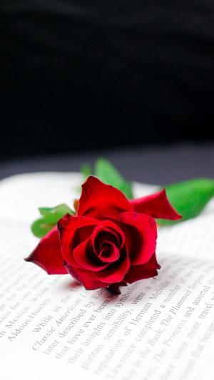 火红艳丽的玫瑰花
