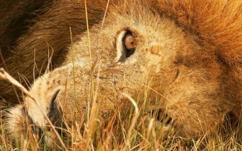 狮子的眼睛