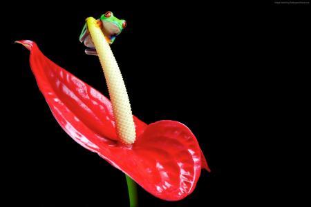 青蛙,花,Spathiphyllum,宏(水平)