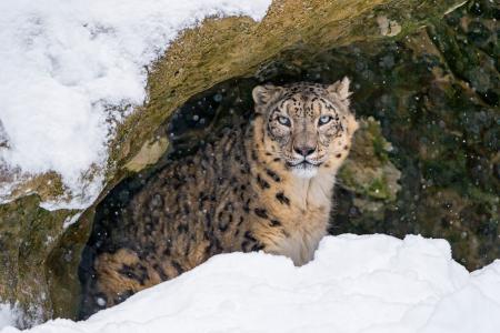 Villy,雪豹,洞,雪,4K