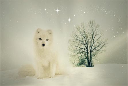 北极狐,福克斯,雪,冬天,高清