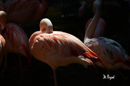 火烈鸟,太阳迭戈,动物园,鸟,红色,羽毛,旅游,池塘(水平)