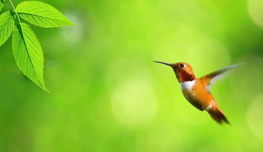 蜂鸟,绿色背景,模糊背景,高清