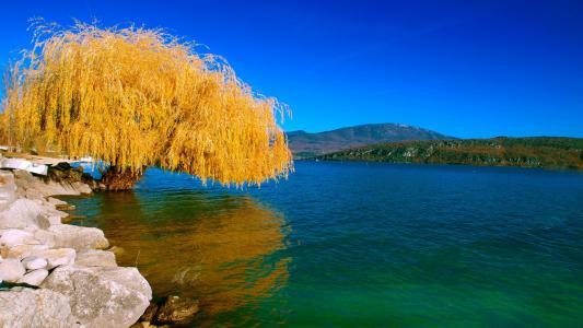 秋季湖泊旁的柳树
