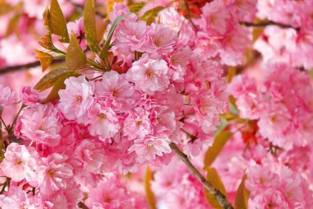 樱花,4k,高清壁纸,樱花,粉红色,春天,鲜花(水平)