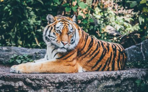 动物园老虎4K