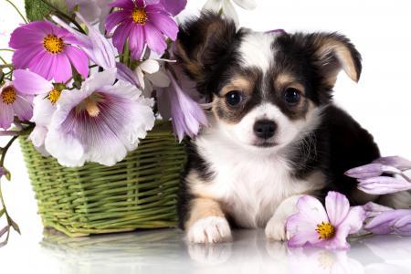 奇瓦瓦狗,小狗,狗,花,动物(水平)