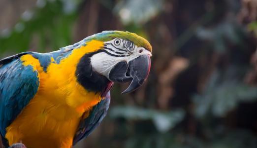 南美鹦鹉,蓝黄金刚鹦鹉,高清