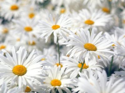 丰富的Oxeye雏菊