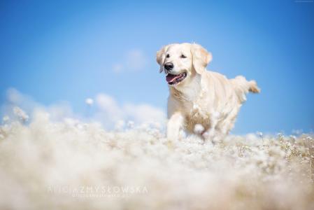 拉布拉多,狗,领域,可爱的动物,搞笑(水平)