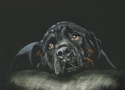 罗威纳,品种狗,黑色,高清