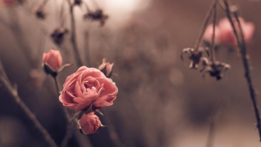 玫瑰,5k,4k壁纸,8k,春天,鲜花,模糊(水平)