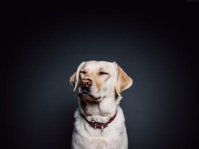 拉布拉多,狗,可爱的动物,4k(水平)