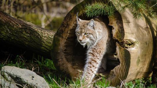 l,,世界上危险的动物,野猫(水平)