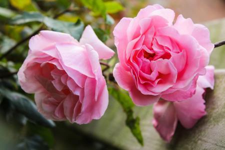 美丽的粉色玫瑰