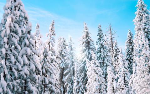 晴朗的冬天松树4K