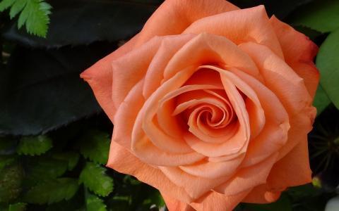 美艳的玫瑰