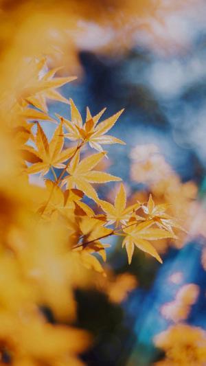 泛黄的秋天枫叶