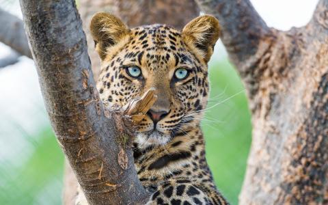 豹,大猫,豹,高清