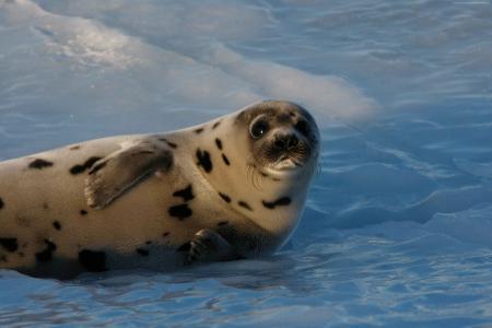 小海豹,大西洋,雪,搞笑(水平)
