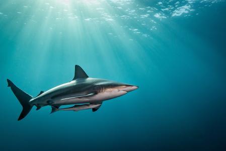 鲨鱼,水下,4k(水平)