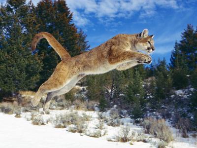原始动力,美洲狮