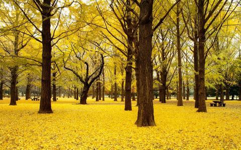 秋天银杏树秋天日本