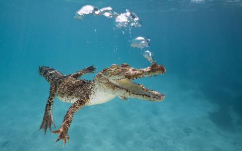 鳄鱼,小牛,游泳,水下,泡沫(水平)