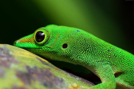 壁虎,爬行动物,绿色,4k(水平)