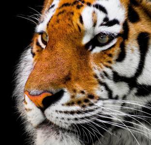 老虎,可爱的动物,4k(水平)