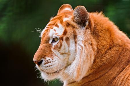 老虎,性质,野生,动物(水平)
